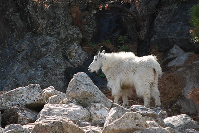 Mountain goat at Mount Rushmore National Memorial, Custer, SD