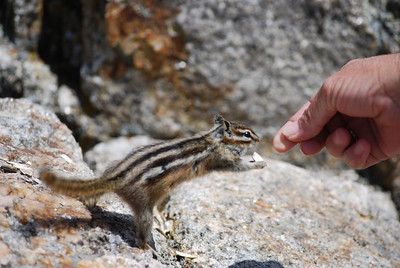 Couldn't get enough of these furry chipmunk friends at Custer State Park, Custer, SD