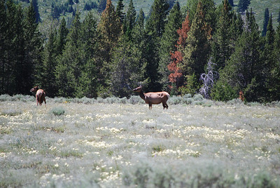 Elk in Grand Tetons National Park, WY