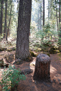 Living stump, Rogue River Gorge, Prospect, OR