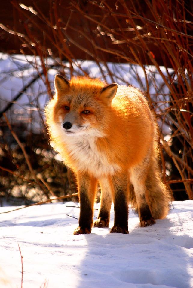 Fox in yard