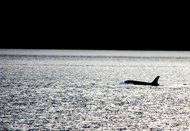 Lead Orca