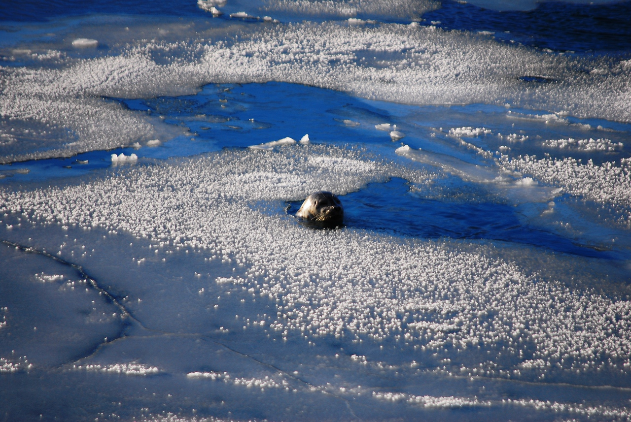 seal in ice
