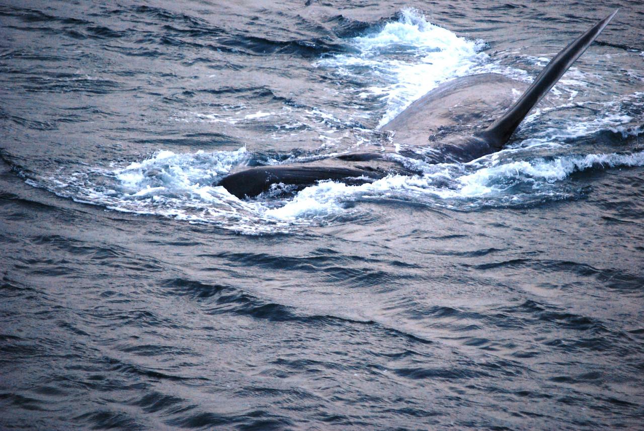 3-14-14  Humpback Whales,  Zachar Bay AK 066