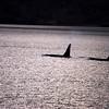 Orcas!!