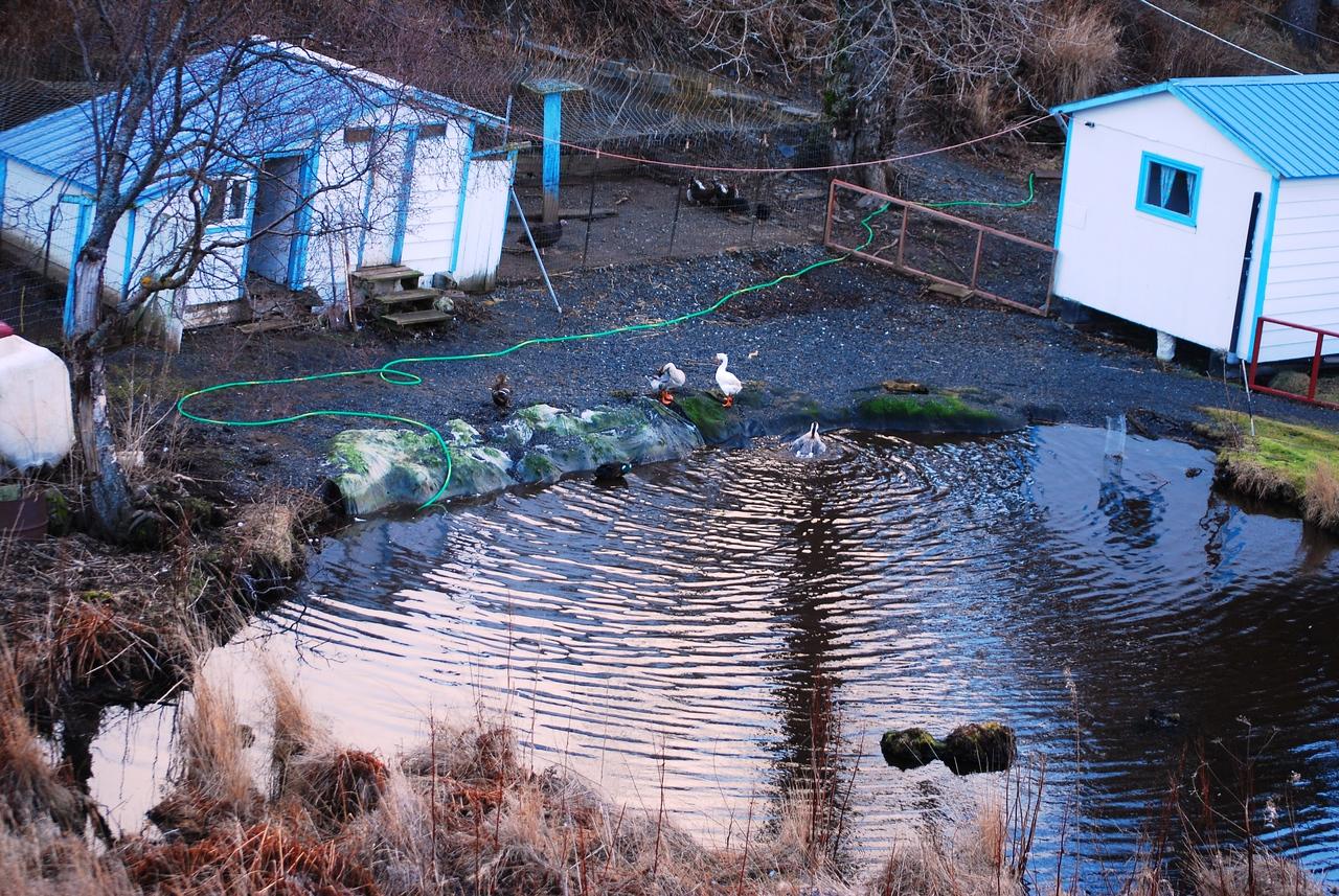 Webfeet enjoying pond