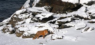 3-15-14  Fox, Snow Hike,  Zachar Bay AK 017