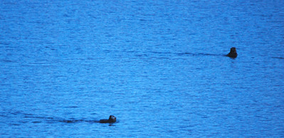 3-15-14  Otters on ice,  Zachar Bay AK 056
