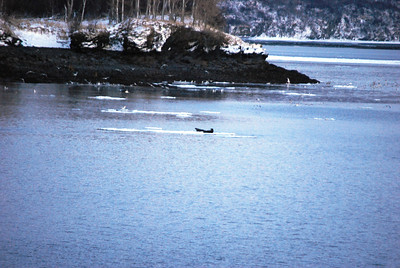 3-15-14  Otters on ice,  Zachar Bay AK 035