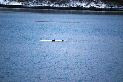 3-15-14  Otters on ice,  Zachar Bay AK 007