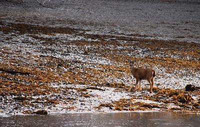 3-21-14  Hike to Bear Camp, Deer,  Zachar Bay AK 088