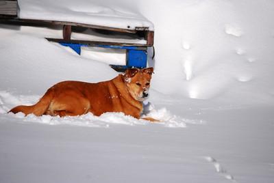 3-15-14  Fox, Snow Hike,  Zachar Bay AK 086
