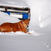 3-15-14  Fox, Snow Hike,  Zachar Bay AK 086