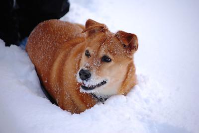 3-15-14  Fox, Snow Hike,  Zachar Bay AK 034