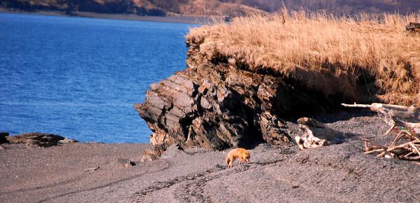 3-24-14  Even More Sea Lions,   Zachar Bay AK 001