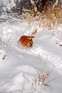 3-15-14  Fox, Snow Hike,  Zachar Bay AK 067