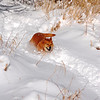 3-15-14  Fox, Snow Hike,  Zachar Bay AK 067