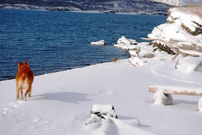 3-15-14  Fox, Snow Hike,  Zachar Bay AK 009