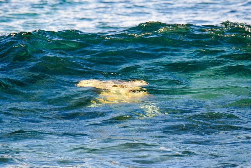 Sea turtles body surfing