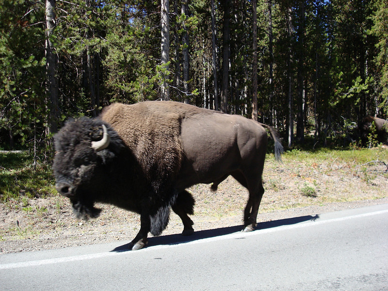 Big Bison cruising the road