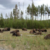 Bison nap time
