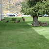 Female elk resting in the shade of a hotel