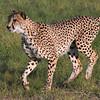 Magnificant cheetah