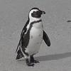 African Penguins at Boulders Beach