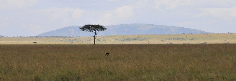 Lone Acacia Tree on the horizon - Masai Mara, Kenya