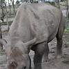 Black Rhino (at a Rhino Sancturary) - tame Rhino - Sweetwater Reserve, Kenya