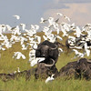 Cape Buffalo and Egrets - Masai Mara,Kenya