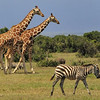 Riticulated Giraffe and Common Zebra - Sweetwater Reserve, Kenya