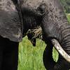 Elephant - Masai Mara, Kenya