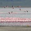 Greater and Lesser Flamingo Migration - Lake Manyara, Tanzania