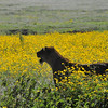 Lion amongst the wildflowers - Lake Ngorongoro, Tanzania