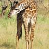 Reticulated Giraffe - Serengeti, Tanzania