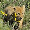 Lion Cub - Lake Ngorongoro, Tanzania