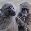 Baboons - Samburu, Kenya