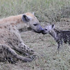 Spotted Jackal mother and baby - Masai Mara, Kenya