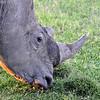 White Rhino - Sweetwater Reserve, Keyna