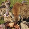 Hooded Vultures and Spotted Hyaena - Masai Mara, Kenya