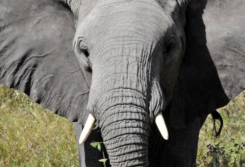 Elephant - Ngorongoro Crater, Tanzania
