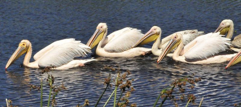 Great White Pelicans - Ngorongoro Crater, Tanzania