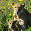 Mother and cub - Lake Ngorongoro, Tanzania