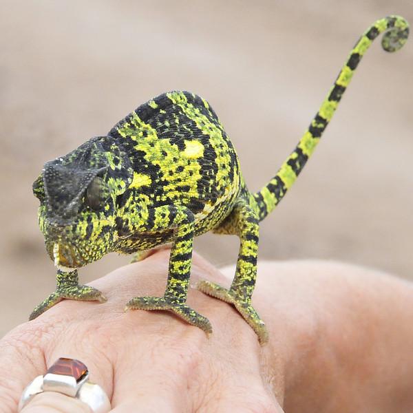 Flap Necked Chameleon - Lake Ngorongoro, Tanzania