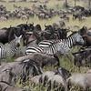 Wildebeest and Zebra migration - Serengeti, Tanzania