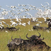 Cape Buffalo and Egrets - Masai Mara, Kenya