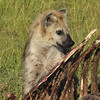 Spotted Hyena finishing a Lion's Buffalo kill from a few days before - Masai Mara, Kenya