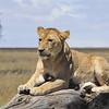 Lion - Serengeti, Tanzaia