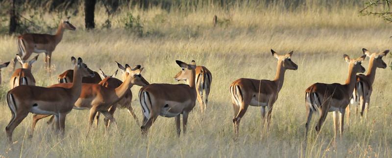 Impalas - Serengeti, Tanzania